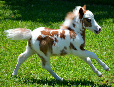 Paint Pinto Horses For Sale In California